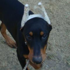 Adorable Dobermann Achilles