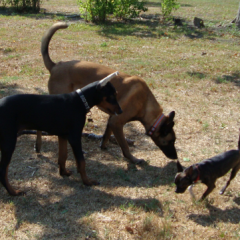 Baby Dobermann Achilles with Taz and Mojo