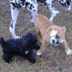 Baby English Bulldog Sikander Entices Baby MaltiPoo Tito to Play