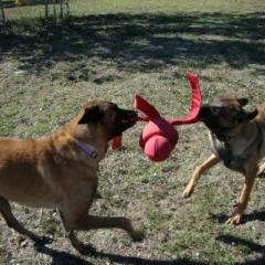 Banditt and Taz Play Tug