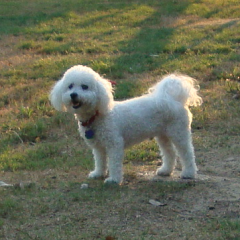 Bichon Frise Barkley Enjoys the Great Outdoors