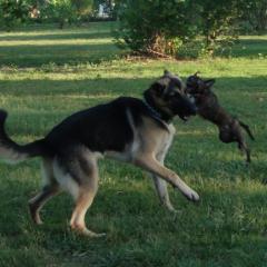 Big Dogs Play