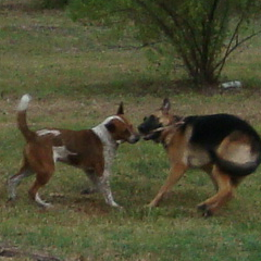Bree and Sasha Play Tug with a Stick