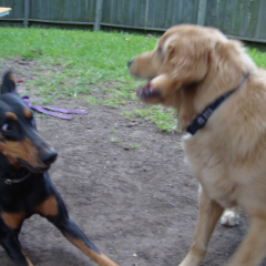 Dobermann Obi Play Bows to Golden Retriever Rusty