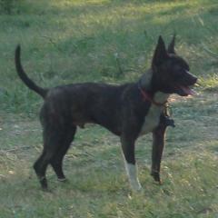 Handsome Chihuahua Mojo
