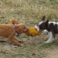 Hershey and Twix Play Tug