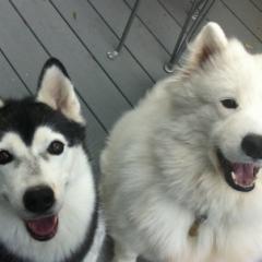 Husky Cricket and Samoyed Phoebe