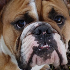 I am Bulldog  Hear Me Snore