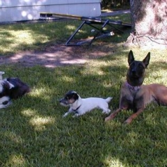 Jack Russell Terrier Tuffy Practices Stay with Border Collie Frolic and Belgian Malinois Taz