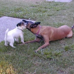Jack Russell Terrier Tuffy Tugs on a Hidden Toy with Belgian Malinois Taz