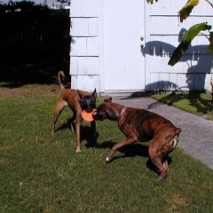 Mack and Taz Play Tug