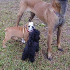 MaltiPoo Tito and English Bulldog Sikander Play under Belgian Malinois Taz