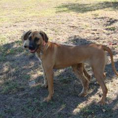 Rhodesian Ridgeback Rosie in Front of Standard Poodle Penne