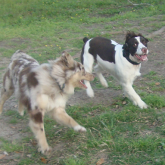 Such Happy Dogs Aussie Kota and English Springer Spaniel Bart