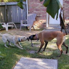 Yellow Labrador Sam Plays Tug with Belgian Malinois Taz