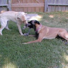 Yellow Labrador Sam and Belgian Malinois Taz Play with Toy