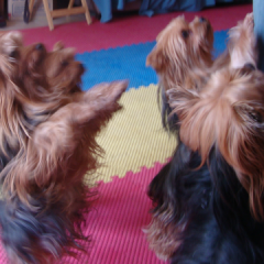 Yorkies Times Four