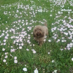 Mini Labradoodle Tater in the Flowers