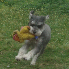 Schnoodle Punky with a Toy