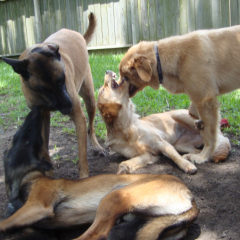 Twin Play Malinois Taz and Cash Goldens Rusty and Sadie