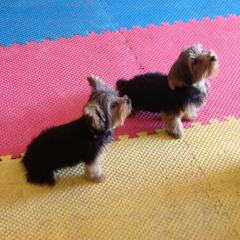 Yorkies in Training