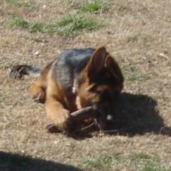 Baby German Shepherd Gigi Chews a Stick