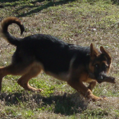 Baby German Shepherd Gigi Plays Keep-Away with a Stick