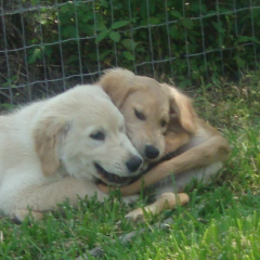 Baby Goldens Abby and Bailey