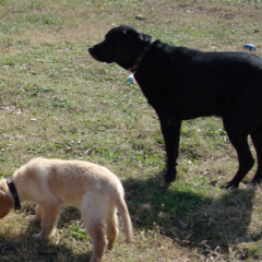 Black Labrador Retriever Biggie Watches Over Little Brother Cash
