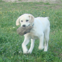 Still a Baby Yellow Lab Cooper