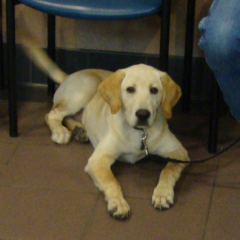 Yellow Lab Scout