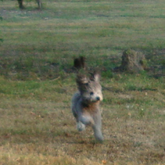 Toy Poodle Romeo Runs