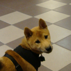 Shibi Inu Puppy Renji