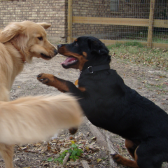 Baby Rottweiler Barli Plays with Golden Retreiver Rusty