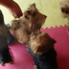 Yorkies Galore