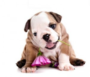 English-Bulldog-Puppy-with-