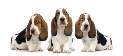 Three-Bassett-Puppies-small
