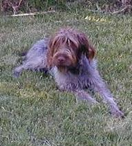 Willie, Wirehaired Pointing Griffon