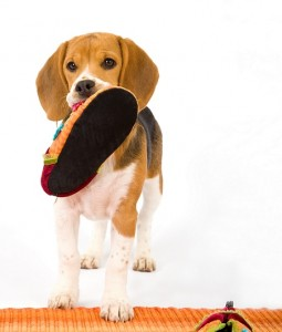 Beagle with Shoe Small