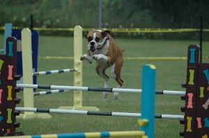 Boxer Doing Agility Small
