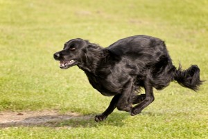 Flat Coated Retriever Running Small