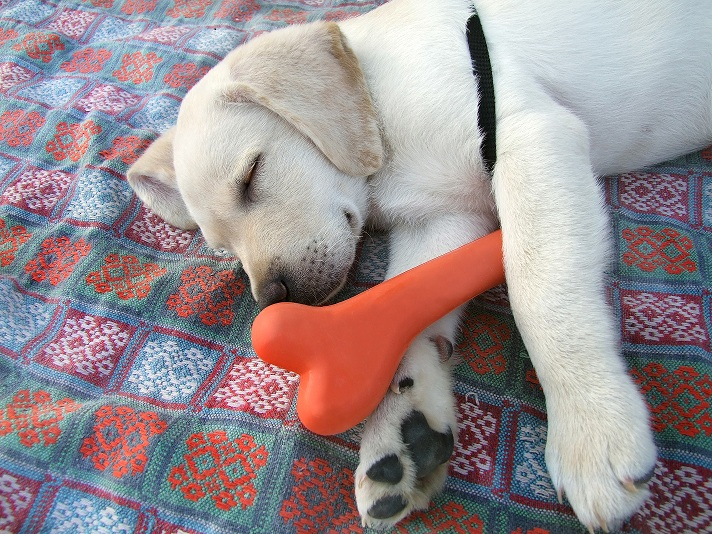 Lab Puppy Sleeps with Toy Bone Small