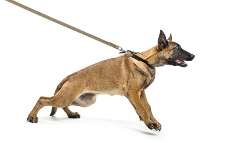 Malinois-Puppy-Pulls-on-Lea